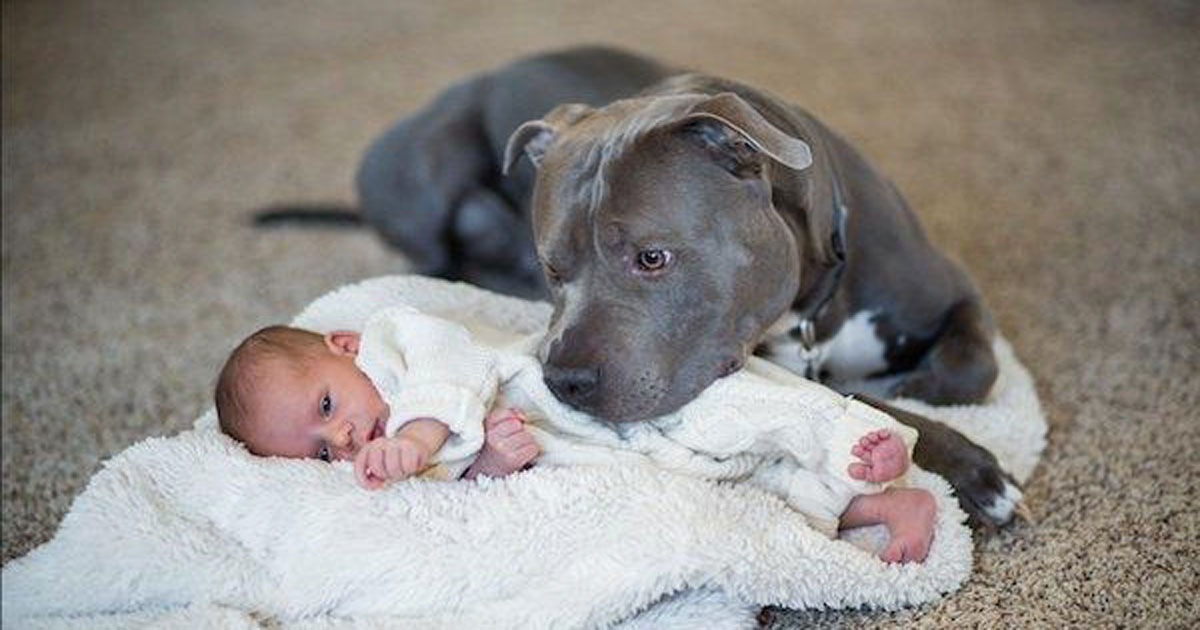 pit_bull_loves_baby_and_changes_owners_heart_featured