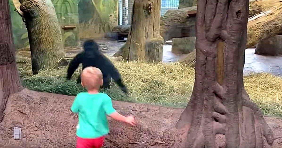 Image result for Toddler runs to look at young gorilla. No one expects the two of them to play peek-a-boo