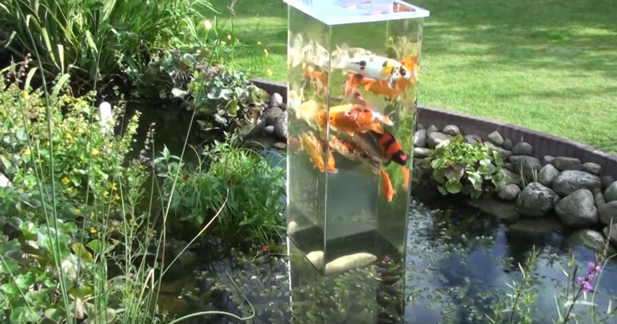 Underwater life in our front yard pond page 2 for Koi fish pond sydney