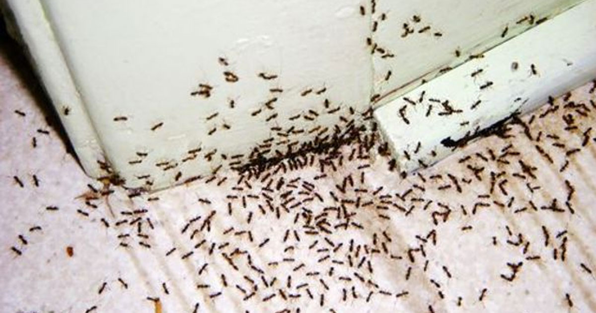 Have An Ant Problem? Try This Safe And Effective Solution ...