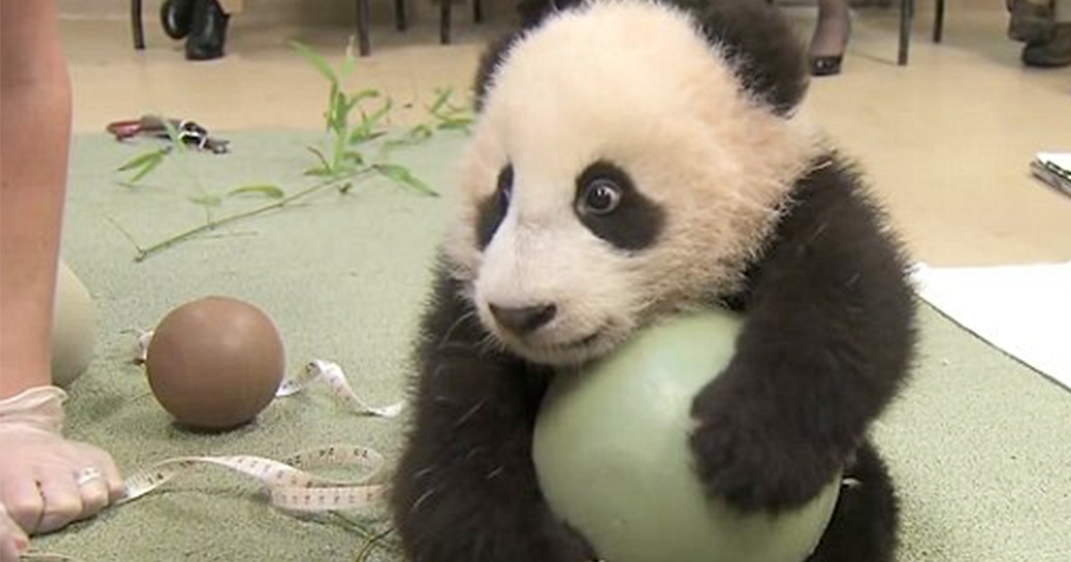 adorable-baby-panda-refuses-to-give-up-ball-featured