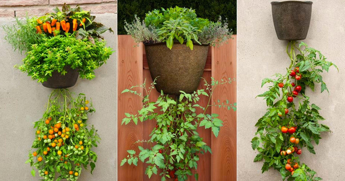 Elegant Don T Have Space For A Garden Here S How To Grow Vegetables And. Amazing  Decoration Hanging Vegetable Garden Organic Baskets ...