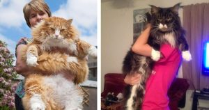 giant_maine_coon_cats_featured