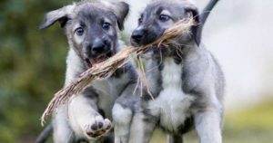 dog_gives_birth_to_identical_twin_puppies_featured