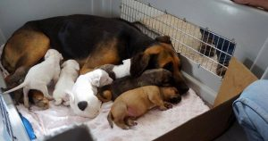 surrogate_mother_adopts_5_orphaned_pit_bull_puppies_featured