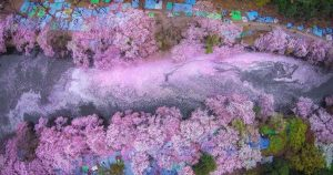 beautiful_aerial_photos_of_japanese_cherry_blossoms_featured