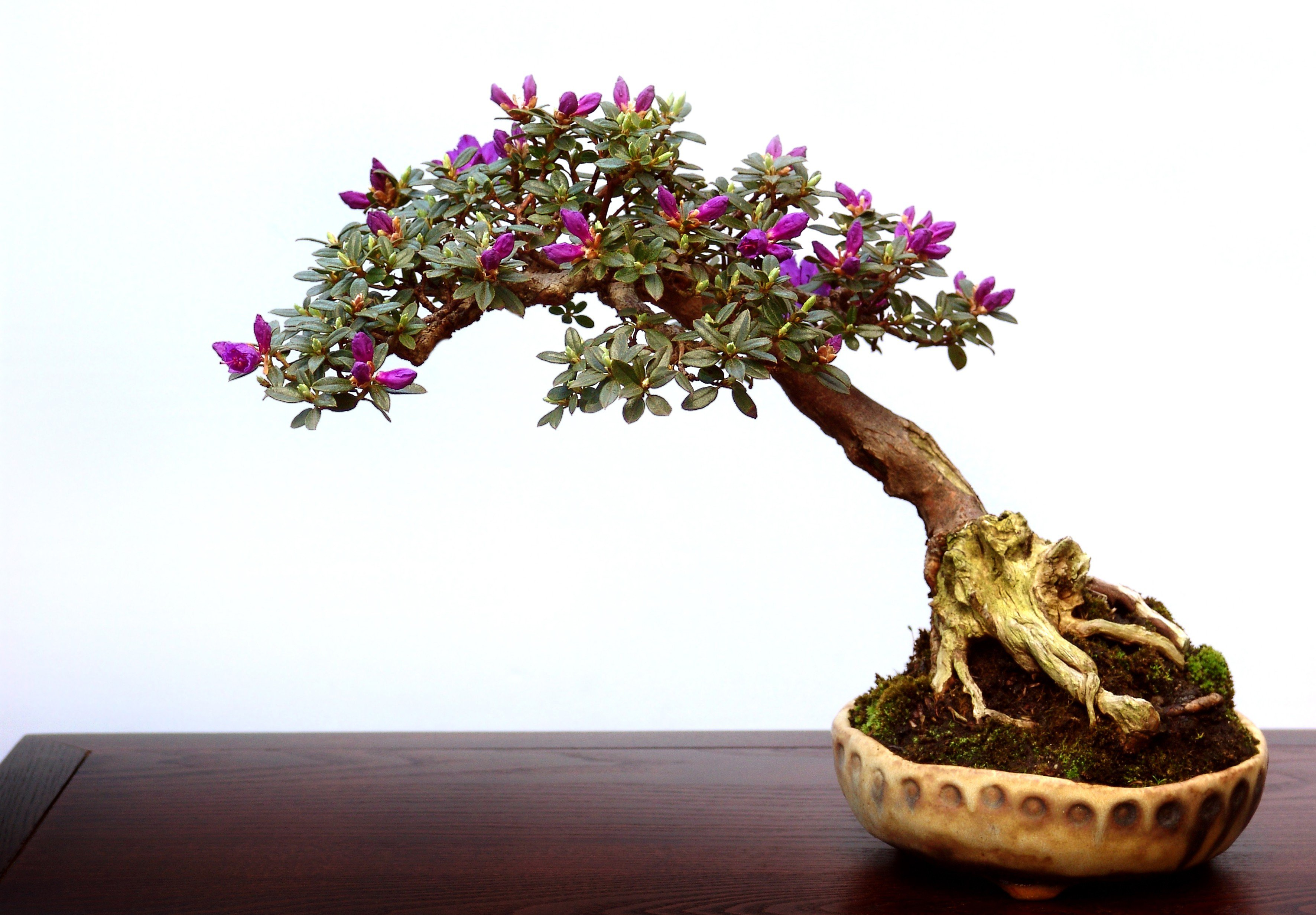 15 beautiful bonsai trees they are the perfect addition