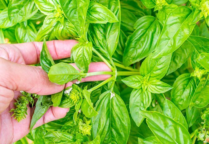 How-to-Prune-Herbs_Indentify2