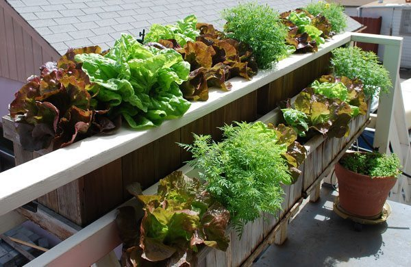 window-box-lettuce1-lg