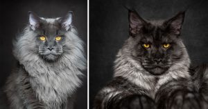 maine_coon_photography_featured